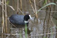 Kammblässhuhn / Red-knobbed coot, Crested coot / Fulica cristata