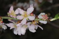 Mandel / Almond / Prunus dulcis