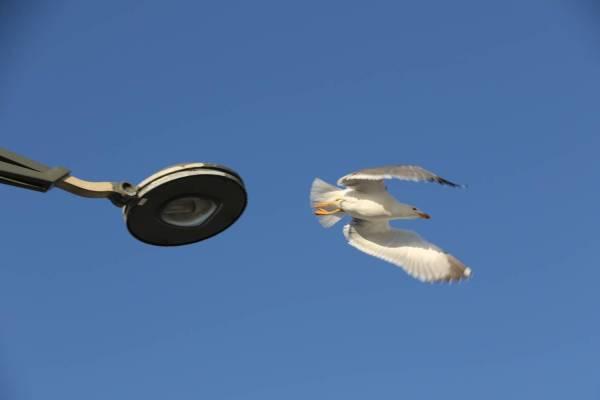 Heringsmöwe / Lesser black-backed gull / Larus fuscus