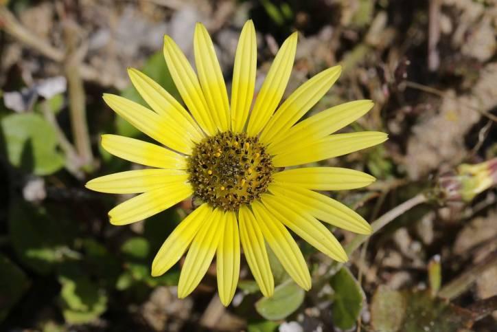 Kaplöwenzahn / Cape weed, Cape dandelion / Arctotheca calendula ?