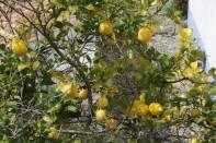 Zitronenbaum / Citrus x limon