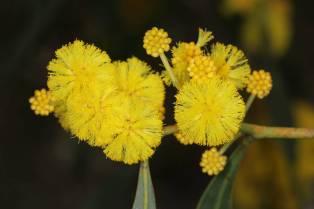 Vachellia oder Acacia ?