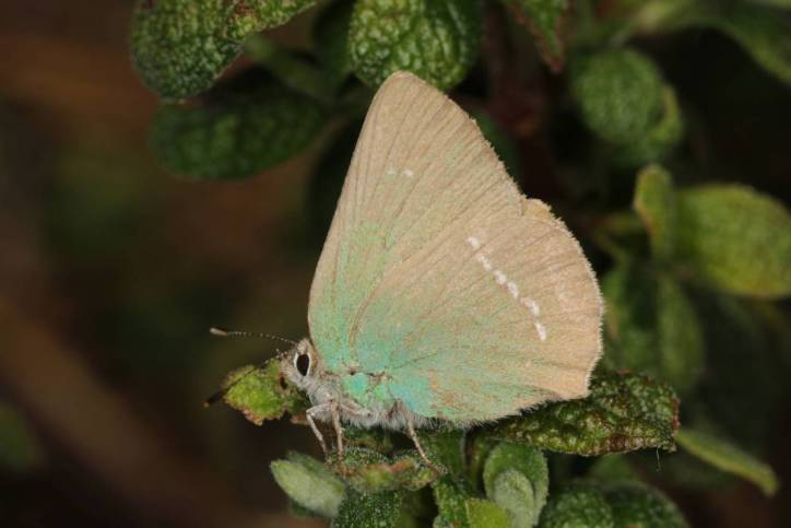 Chapman's green hairstreak / Chapman's green hairstreak / Callophrys avis
