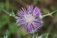 Flockenblumen / Centaury, Centory, Starthistles, Knapweeds, Centaureas / Centaurea