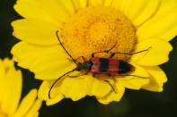 Bockkäfer / Longhorn beetle / Cerambycidae