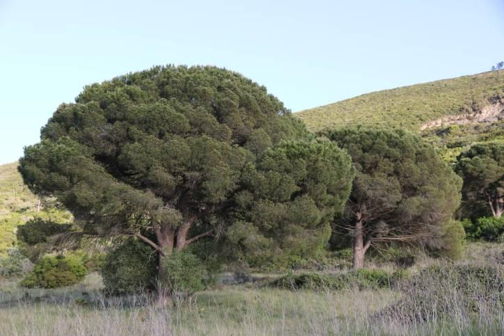 Kiefern / Pines / Pinus