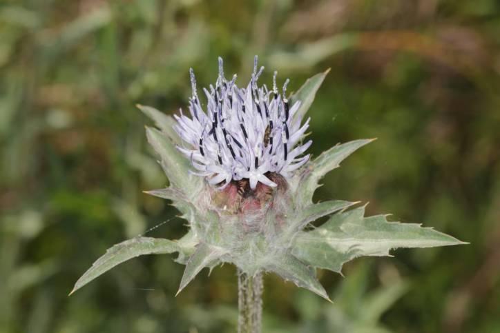 Blaue Färberdistel / Blue safflower / Carduncellus caeruleus, Carthamus caeruleus