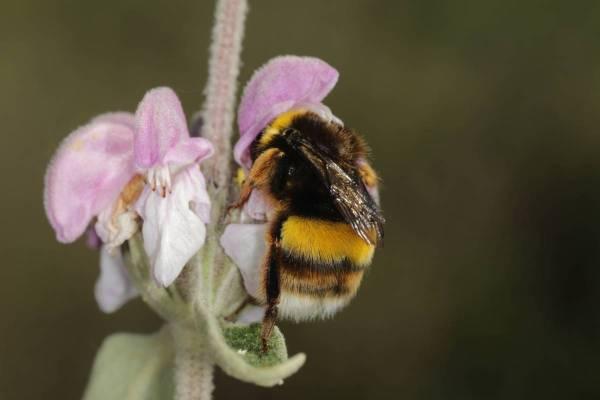 Hummeln / Bumblebee / Bombus