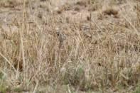 Rotschopftrappe / Red-crested Bustard / Lophotis ruficrista
