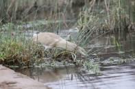 Rallenreiher / Squacco heron / Ardeola ralloides