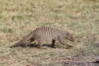 Zebramanguste / Banded mongoose / Mungos mungo