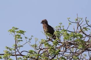 Einfarb-Schlangenadler / Brown Snake-Eagle / Circaetus cinereus