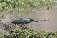 Mangrovenreiher / Striated heron / Butorides striata, Butorides striatus