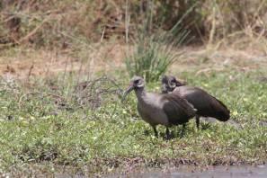 Hagedasch / Hadeda ibis / Bostrychia hagedash