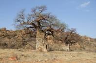 Afrikanische Affenbrotbäume