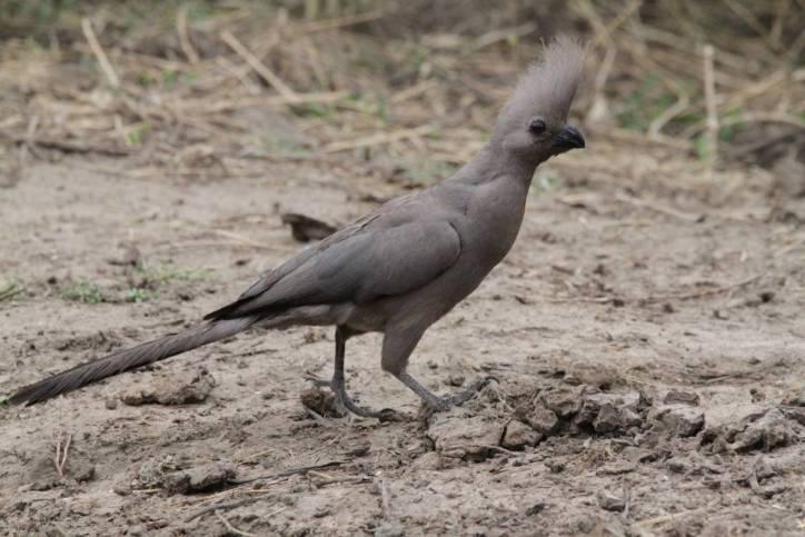 Graulärmvogel / Grey Go-away-bird / Corythaixoides concolor