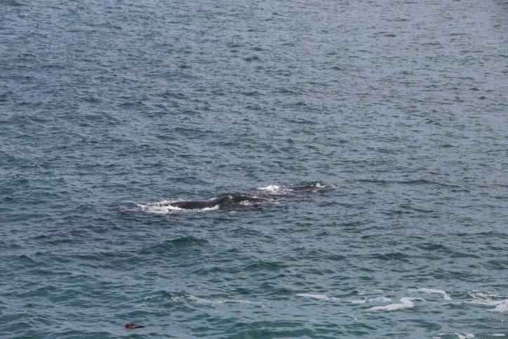 Südkaper oder Südlicher Glattwal