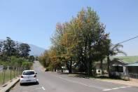 Blühender Baum (Silky Oak)