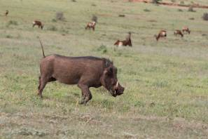 Warzenschwein / Warthog / Phacochoerus africanus