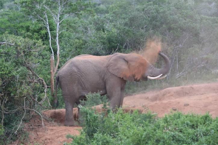 Afrikanischer Elefant bewirft sich mit Staub
