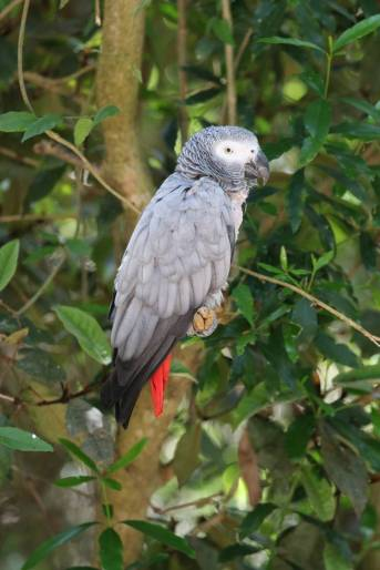 Timneh Grey Parrot / Psittacus erithacs timneh