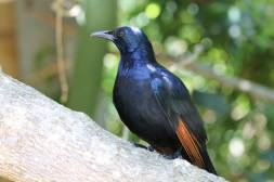 Rotschwingenstar / Red-winged Starling / Onychognathus morio