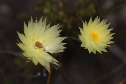 Edmondia sesamoides