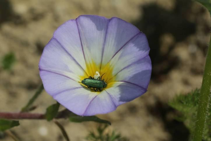 Dreifarbige Winde, Dreifarbige Gartenwinde / Dwarf morning glory / Convolvulus tricolor