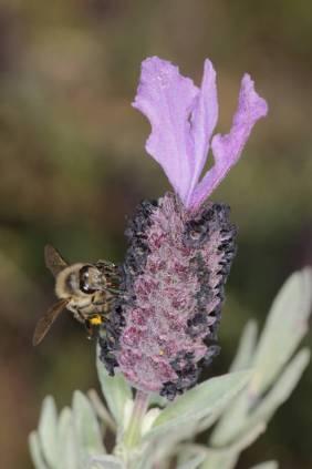Schopf-Lavendel / French lavender, Spanish lavender, Topped lavender / Lavandula stoechas