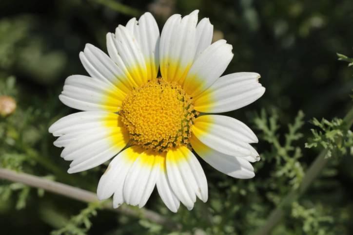 Kronenwucherblume, Salatchrysantheme / Garland chrysanthemum, Chrysanthemum greens, Edible chrysanthemum, Chop suey green, Crown daisy, Japanese-green / Glebionis coronaria, Chrysanthemum coronarium