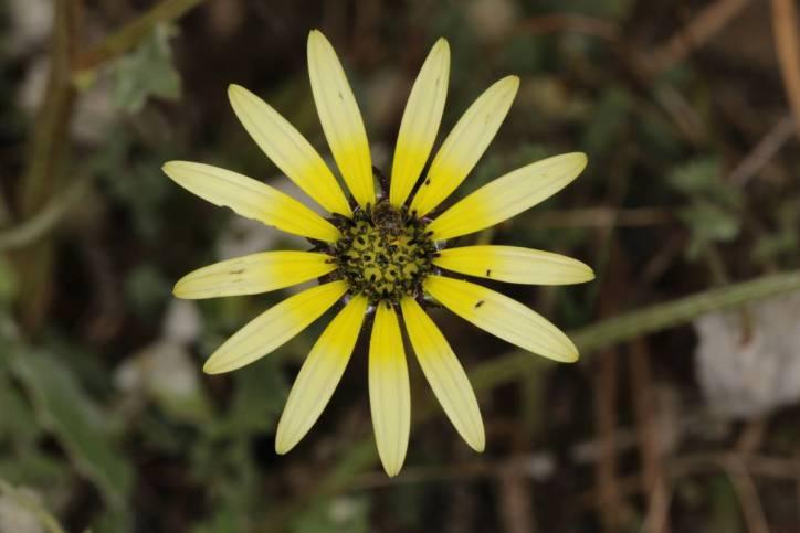 Kaplöwenzahn / Cape weed, Cape dandelion / Arctotheca calendula