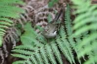 Buchfink / Common chaffinch / Fringilla coelebs