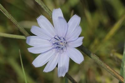 Wegwarte / Chicory / Cichorium intybus