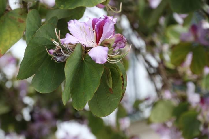 Bunte Bauhinie, Orchideenbaum / Orchid tree / Bauhinia variegata