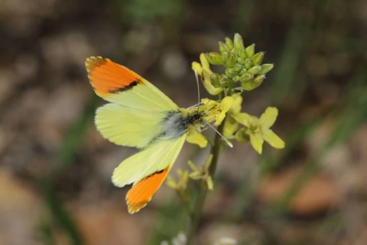 Gelber Aurorafalter / Provence Orange Tip / Anthocharis euphenoides