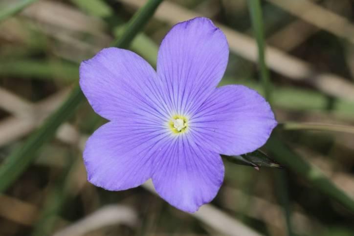 Französischer Lein / Perennial Flax, Blue flax / Linum narbonense
