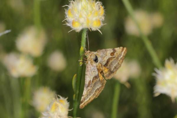 Goldwing / Synthymia fixa