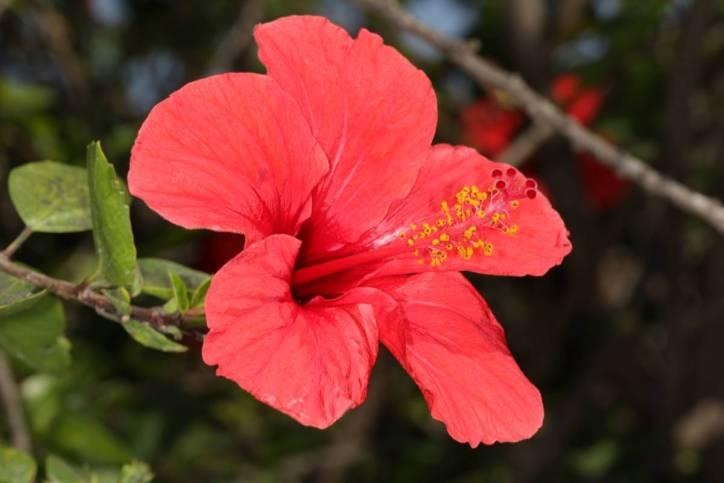 Chinesischer Roseneibisch, Chinesische Rose, Zimmer-Hibiskus / Chinese hibiscus, China rose, shoeflower / Hibiscus rosa-sinensis