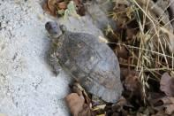 Breitrandschildkröte / Marginated Tortoise / Testudo marginata ?