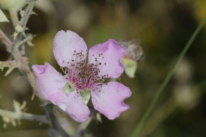 Echte Brombeere / Bramble / Rubus fruticosus