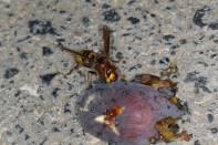 Orientalische Hornisse / Oriental hornet / Vespa orientalis ?