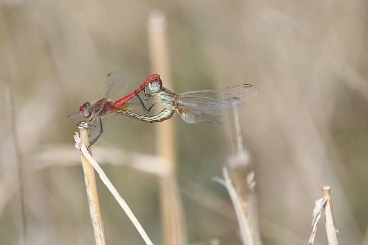 Frühe Heidelibelle / Red-veined darter / Sympetrum fonscolombei