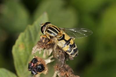 Gemeine Sonnenschwebfliege / Sun fly / Helophilus pendulus