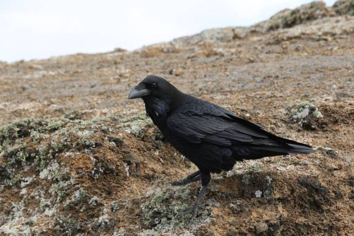 Kolkrabe / Common Raven, Northern Raven / Corvus corax