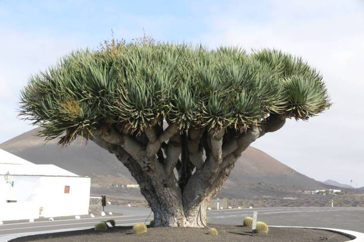 Drachenbaum / Canary Islands dragon tree, Drago / Dracaena draco