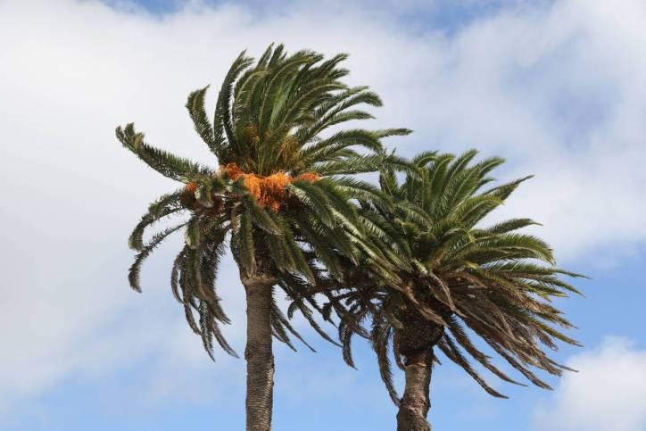 Kanarische Dattelpalme / Canary Island date palm / Phoenix canariensis