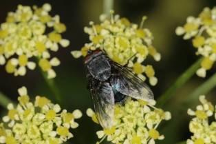 Blaue Schmeißfliegen / Blue bottle flies / Calliphora