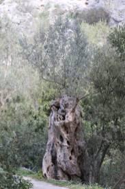 Olivenbaum / Olive / Olea europaea