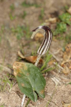 Blüte und Blatt eines Gemeinen Krummstabs