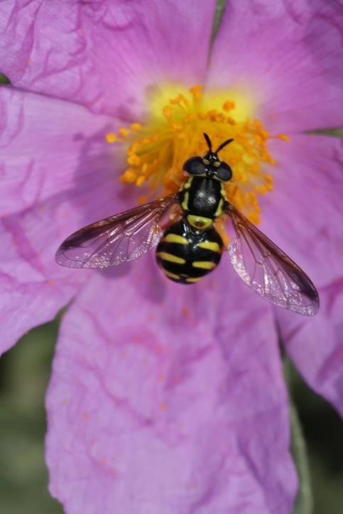 Schwebfliege (Chrysotoxum elegans?) auf Zistrosenblüte
